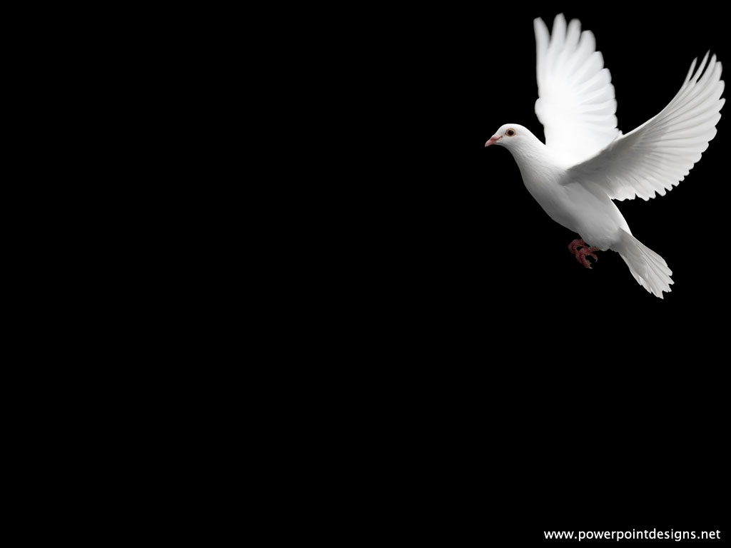 white dove, pigeon on black background #360